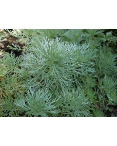 Artemisia_schmidtiana_nana.jpg