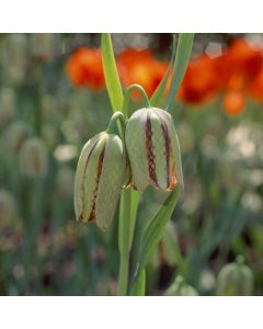 /Fritillaria_hermonis_ssp_amana.jpg
