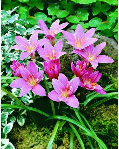 /Zephyranthus_rosea.jpg