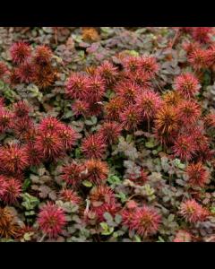 Acaena_microphylla_Kupferteppich