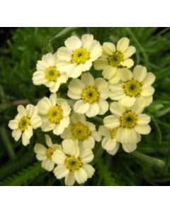 Achillea_King_Edward