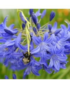 Agapanthus_Atlantic_Blues