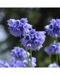 Allium_beesianum