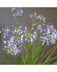 Allium_cyaneum