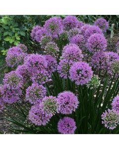 Allium_Millenium