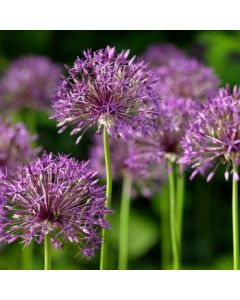 Allium_Purple_Rain