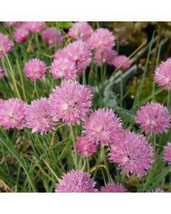 Allium_schoenoprasum_jolly_lolly
