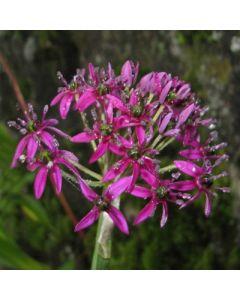 Allium_Walichii