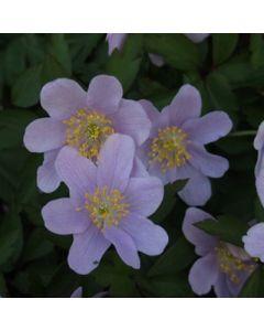 Anemone_nemorosa_Bowles_Purple