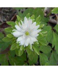Anemone_nemorosa_bracteata_pleniflora