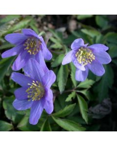 Anemone_nemorosa_Royal_Blue