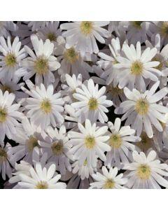 Anemone_blanda_White_Splendour