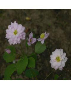 Anemonella_thalictrioides_Kikusaki_Pink