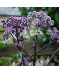 Angelica_sylvestris Ebony