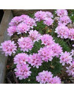 Armeria juniperifolia Bevan's Variety