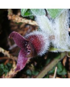 Asarum_europeum