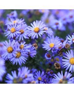 Symphyotrichum nova-belgii Autumn Joy Syn Aster nova-belgii Autumn Joy