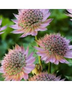 Astrantia_major_florence_eu25404.j