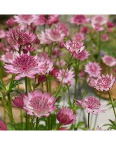 Astrantia_major_roma_eu4975.jpg