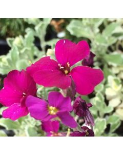 Aubretia_Swan_Red