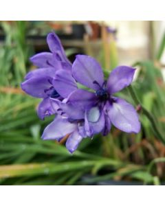 Babiana_stricta_purple_star.jpg