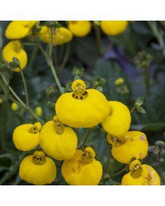 Calceolaria falklandica