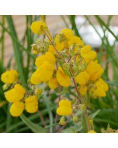 Calceolaria_integrifolia