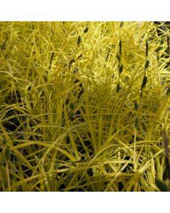 Carex_elata_aurea.jpg