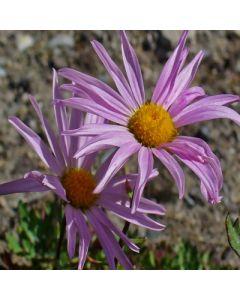 Chrysanthemum_weyritchii