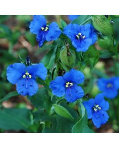 Commelina_Sleeping_Beauty