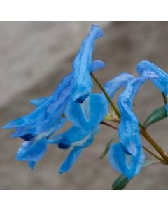 Corydalis_Kingfisher