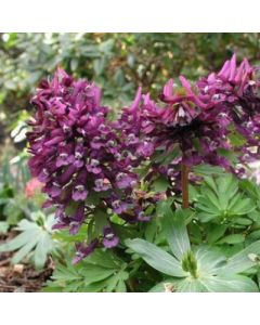 Corydalis_solida_Purple_Beauty