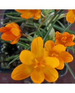 Crocus_olivieri_Orange_Monarch