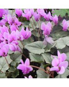 Cyclamne_hederifolium_Silver_Leaf