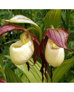 Cypripedium_kentuckiense