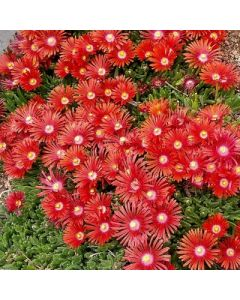 Delosperma_Red_Mountain