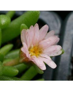 Delosperma Pretty in Pink