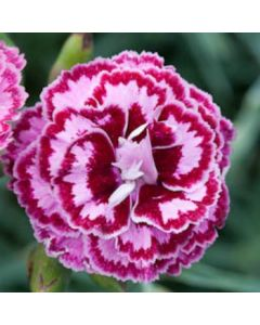 Dianthus_Moulin_ Rouge