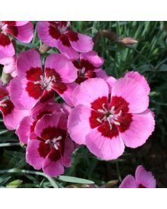 Dianthus_Betty_Morton