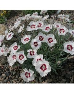 Dianthus_Starry_Eyes