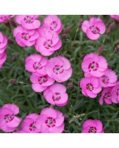 Dianthus_Whatfield_Joy
