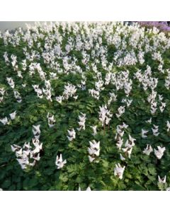 Dicentra_cucularia_Little_Angels