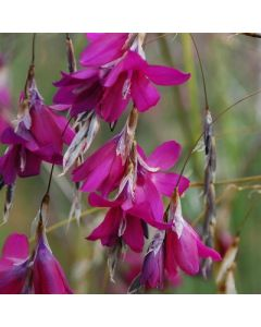 Dierama_Blackberry_Bells