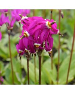 Dodecatheon_pauciflorum_red_wings.jpg