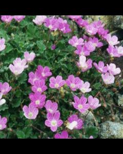 Erodium x variabile 'William Bishop'