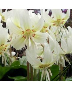 Erythronium_californicum_White_Beauty
