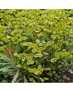 Euphorbia_Ascot_Rainbow