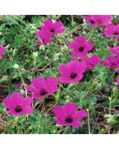 Geranium_cinereum_subcaulescens.jpg