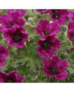 Geranium_cinereum_purple_pillow.jpg