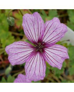 Geranium cinereum Van Lochem